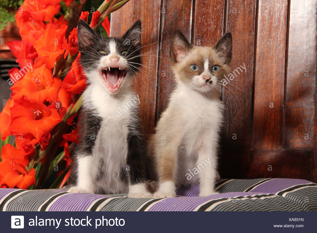 Domestic Cat Two Kittens 2 Month Old Sitting Cushion One Of Them Is Hissing Stock Photo Alamy