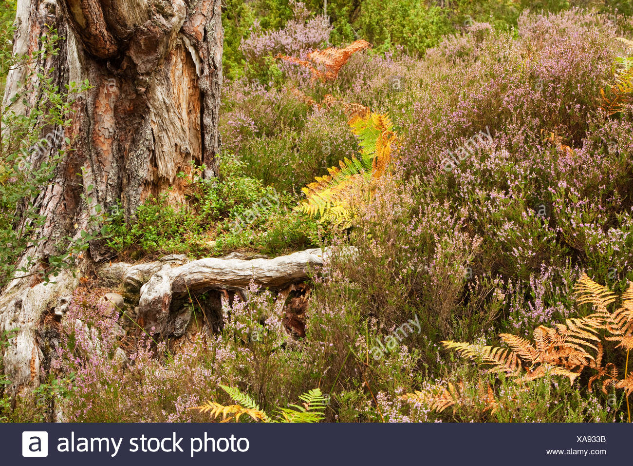 Close up heather and bracken at base of tree on forest floor in caledonian pine forest at Loch an Eilein, Cairngorms National Pa - Stock Image