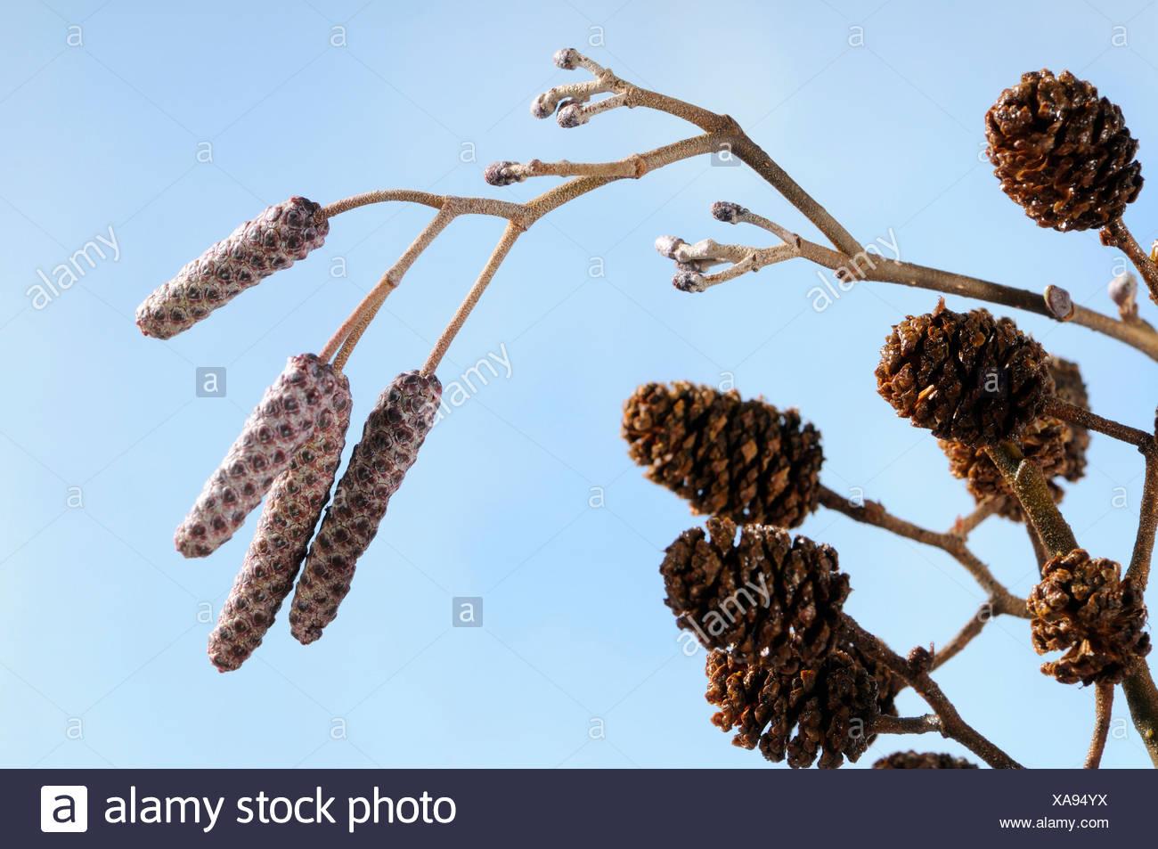 Black alder, European alder, common alder, inflorescences / (Alnus glutinosa) Stock Photo