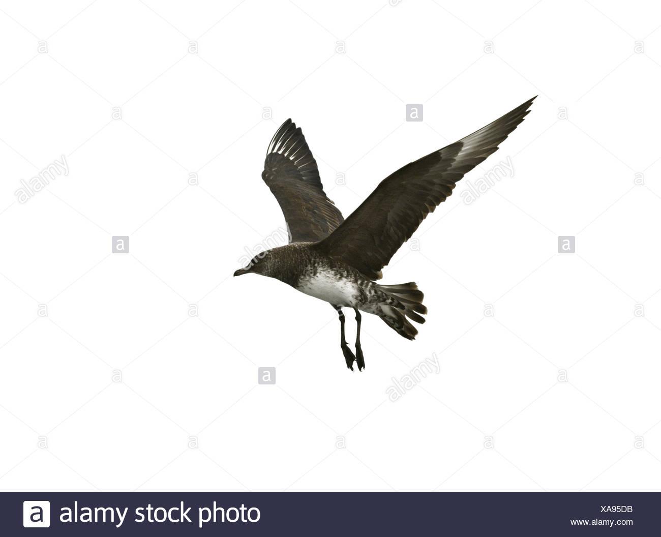 Pomarine Skua - Stercorarius pomarinus - Stock Image