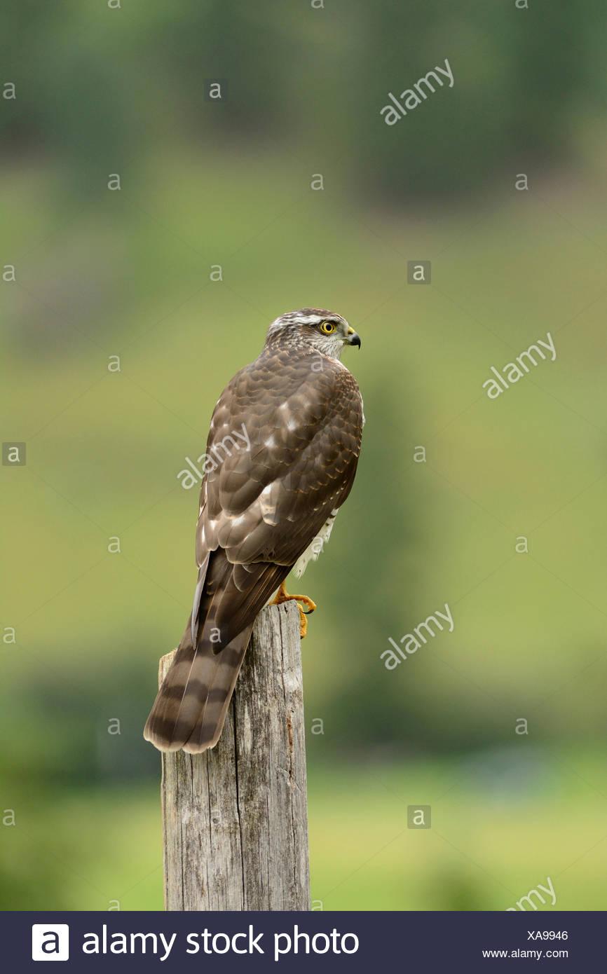 European Sparrow Hawk, Accipiter nisus, Accipitridae, raptor, bird of prey, bird, juvenile, animal, Obergoms, Canton, Valais, Swi - Stock Image