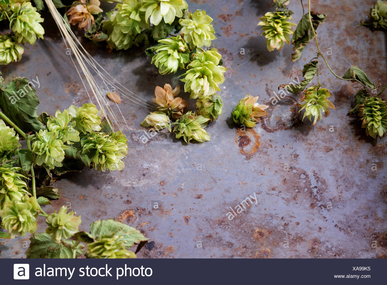 Fresh branches and cones of green hop and ears of barley over old metal background. Beer concept. With copy space at left. - Stock Image