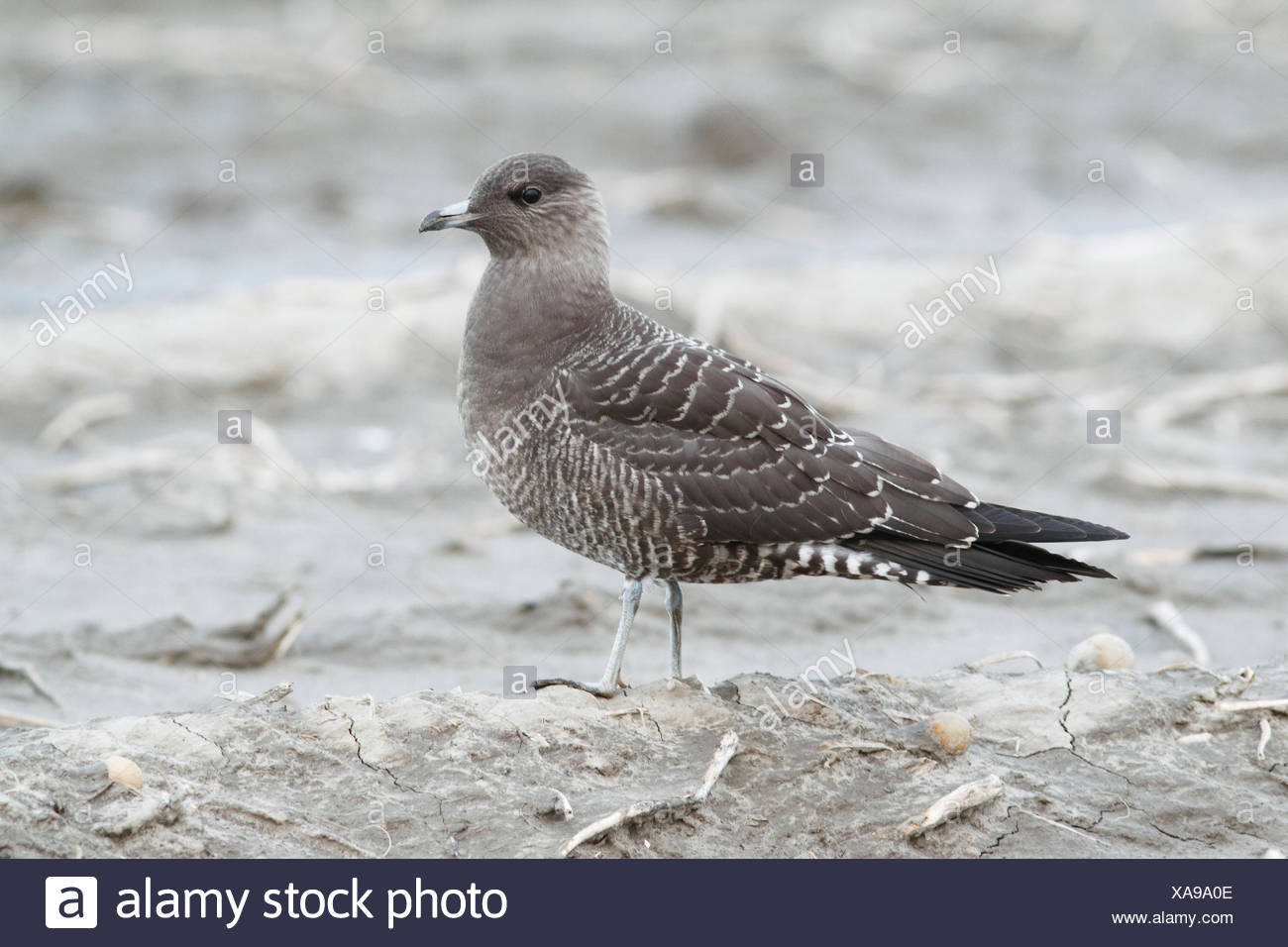 Long-tailed skua on farming land at the north-coast of Holland - Stock Image