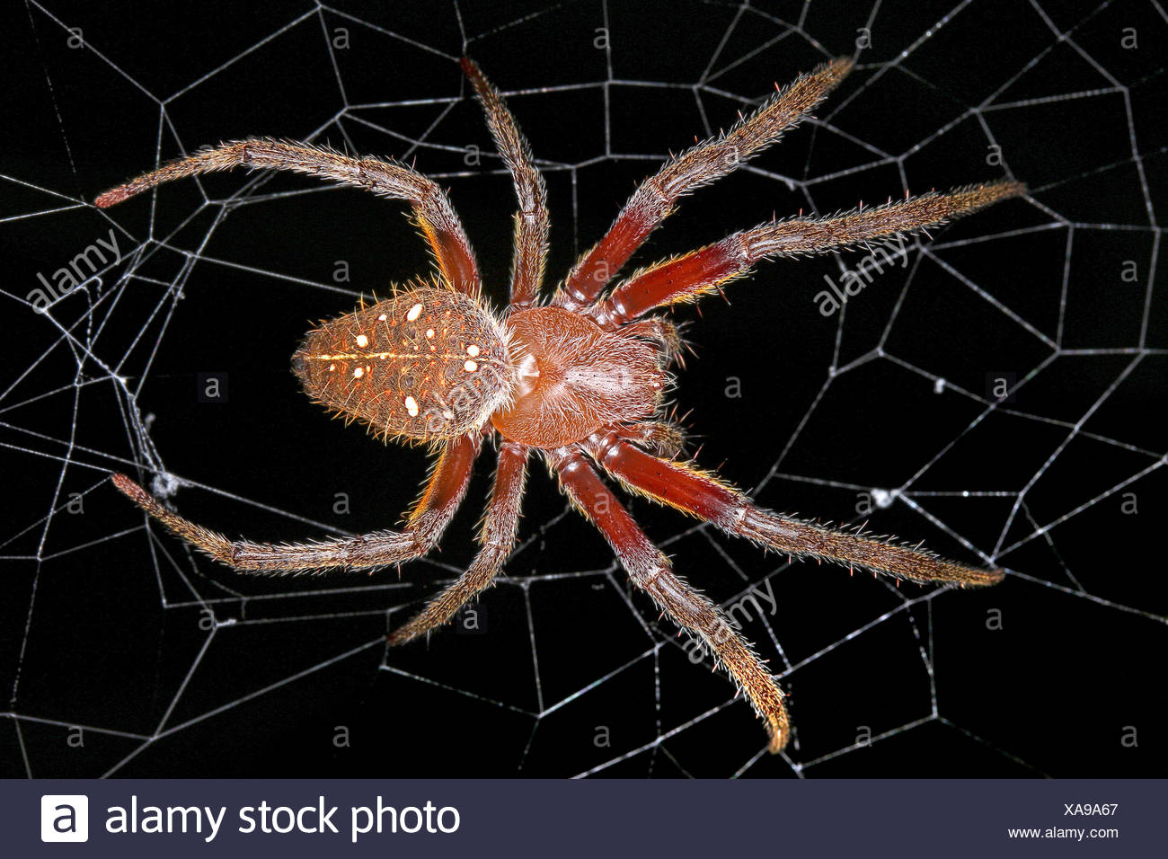 Radnetzspinne, Radnetz-Spinne, Eriophora fuliginea (Eriophora fuliginea), in ihrem Netz, Costa Rica | ord-weaving spider (Erioph Stock Photo