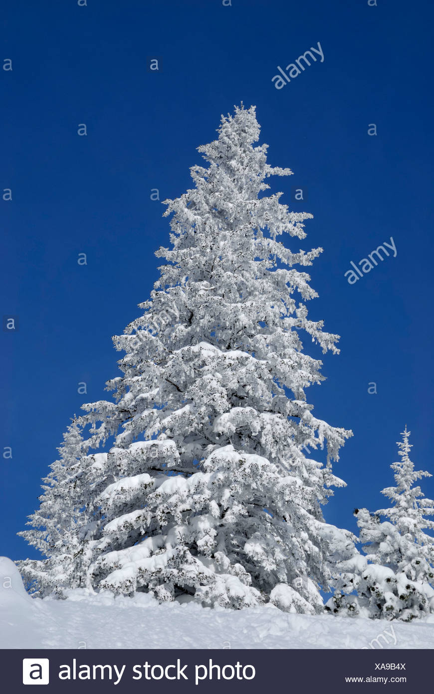 Snow-covered spruces in the mountains, Wendelstein Mountains, Bavaria - Stock Image