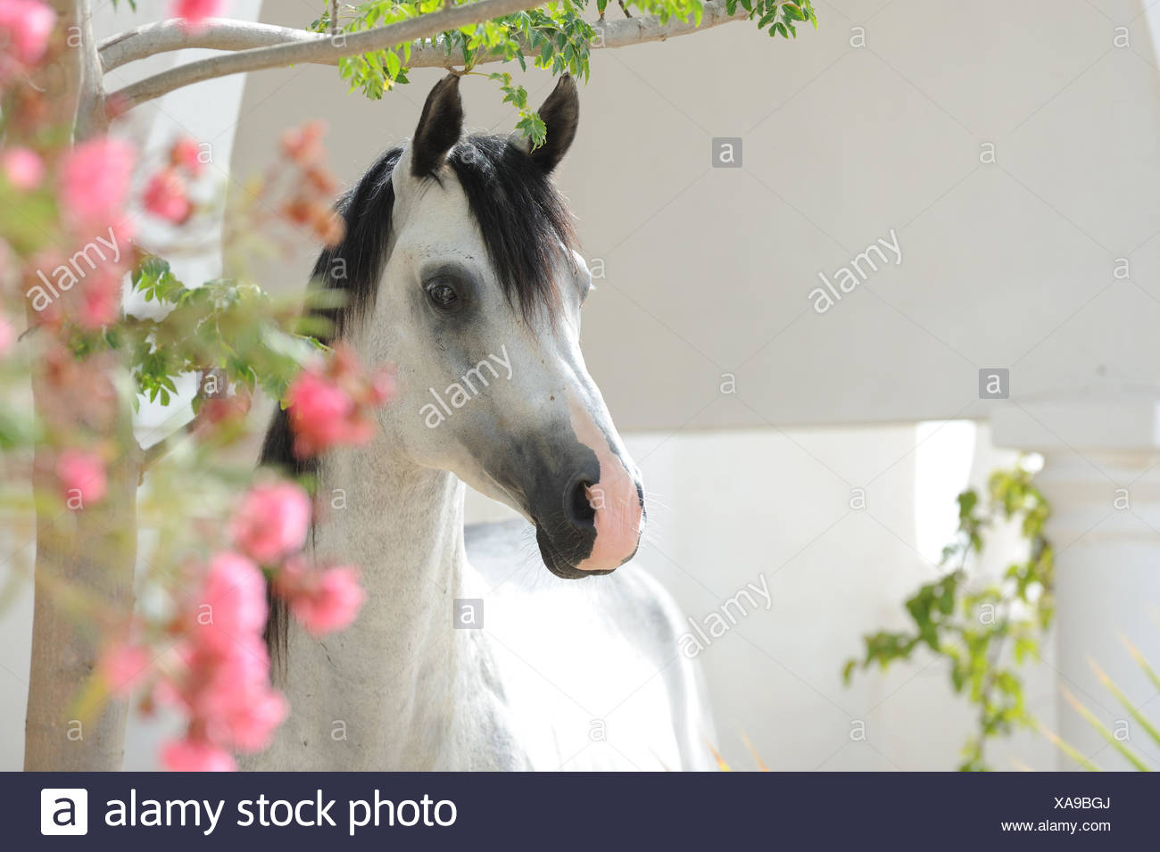 Purebred Arabian Horse. Portrait og gray stallion with pink flowers. Tunesia - Stock Image