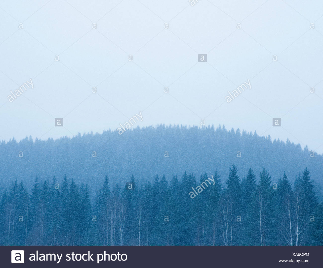Trees in a forest during snow fall Finland - Stock Image