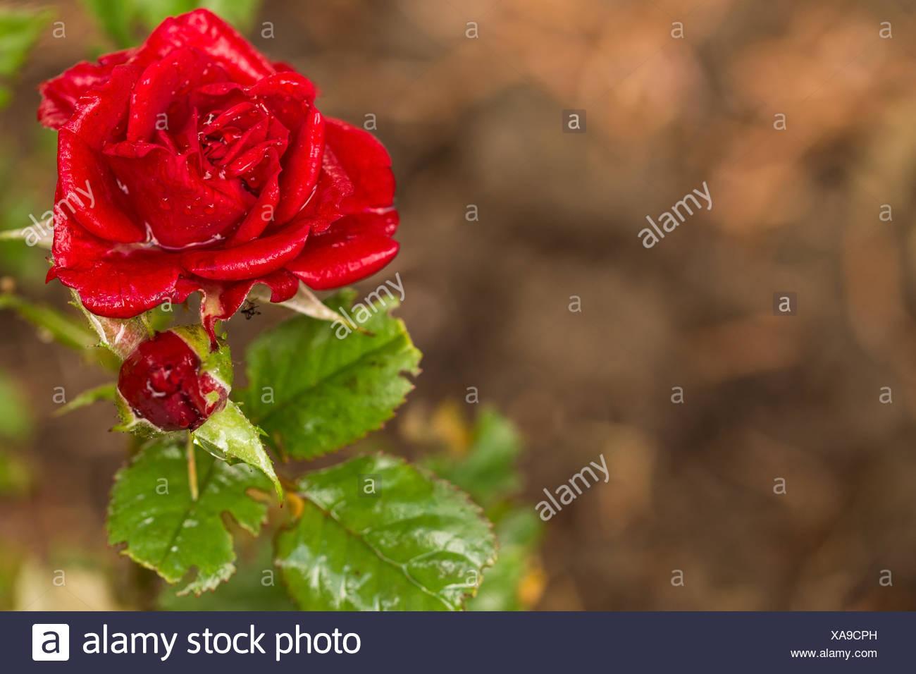 Beautiful red rose stock photo 281720057 alamy beautiful red rose izmirmasajfo