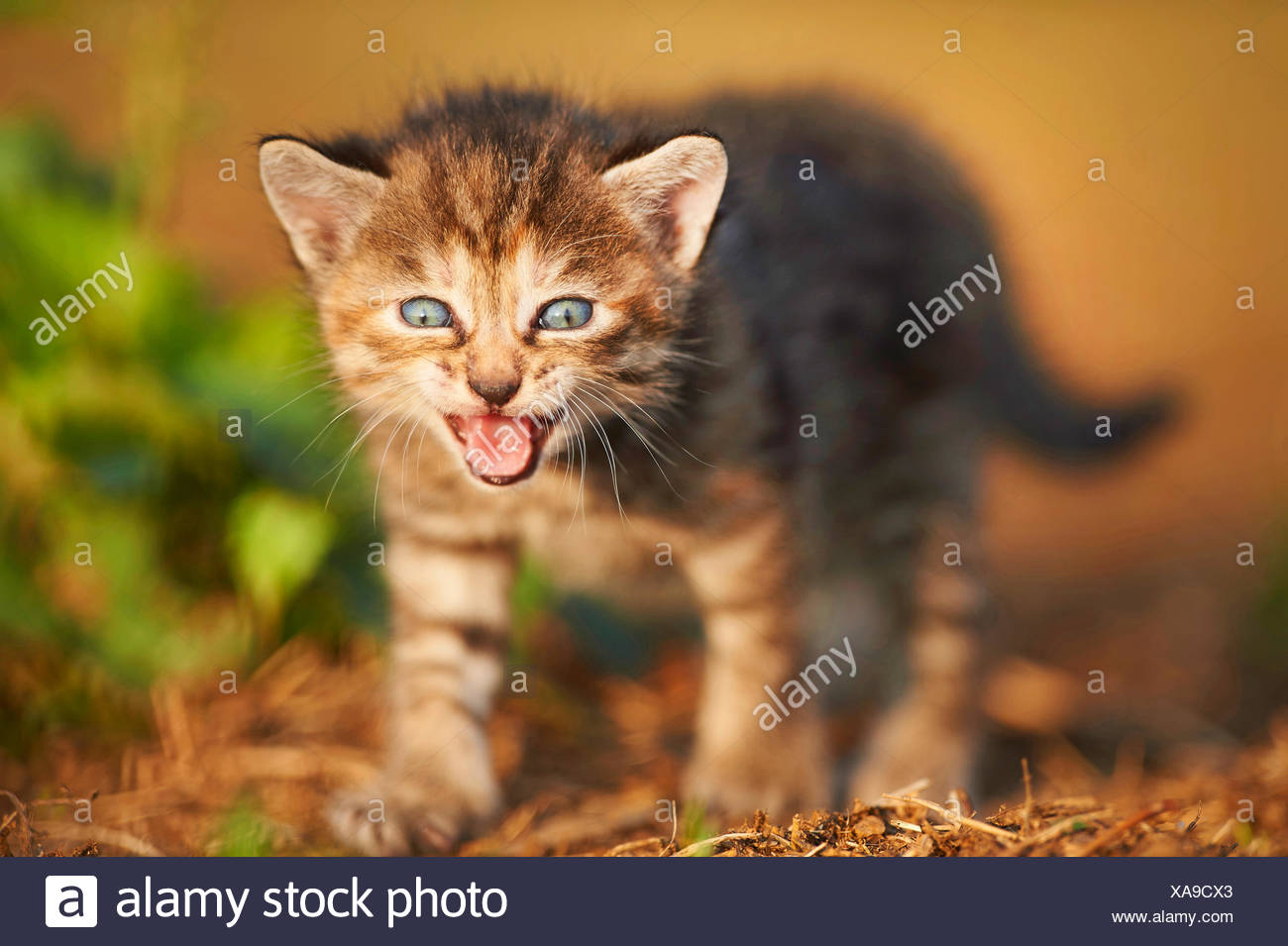 domestic cat, house cat (Felis silvestris f. catus), five weeks old miaowing kitten , Germany - Stock Image