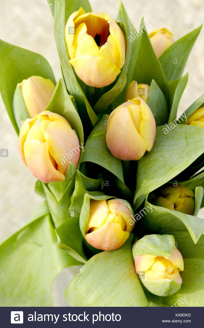 Tulipa Ad Rem Beauty - Stock Image