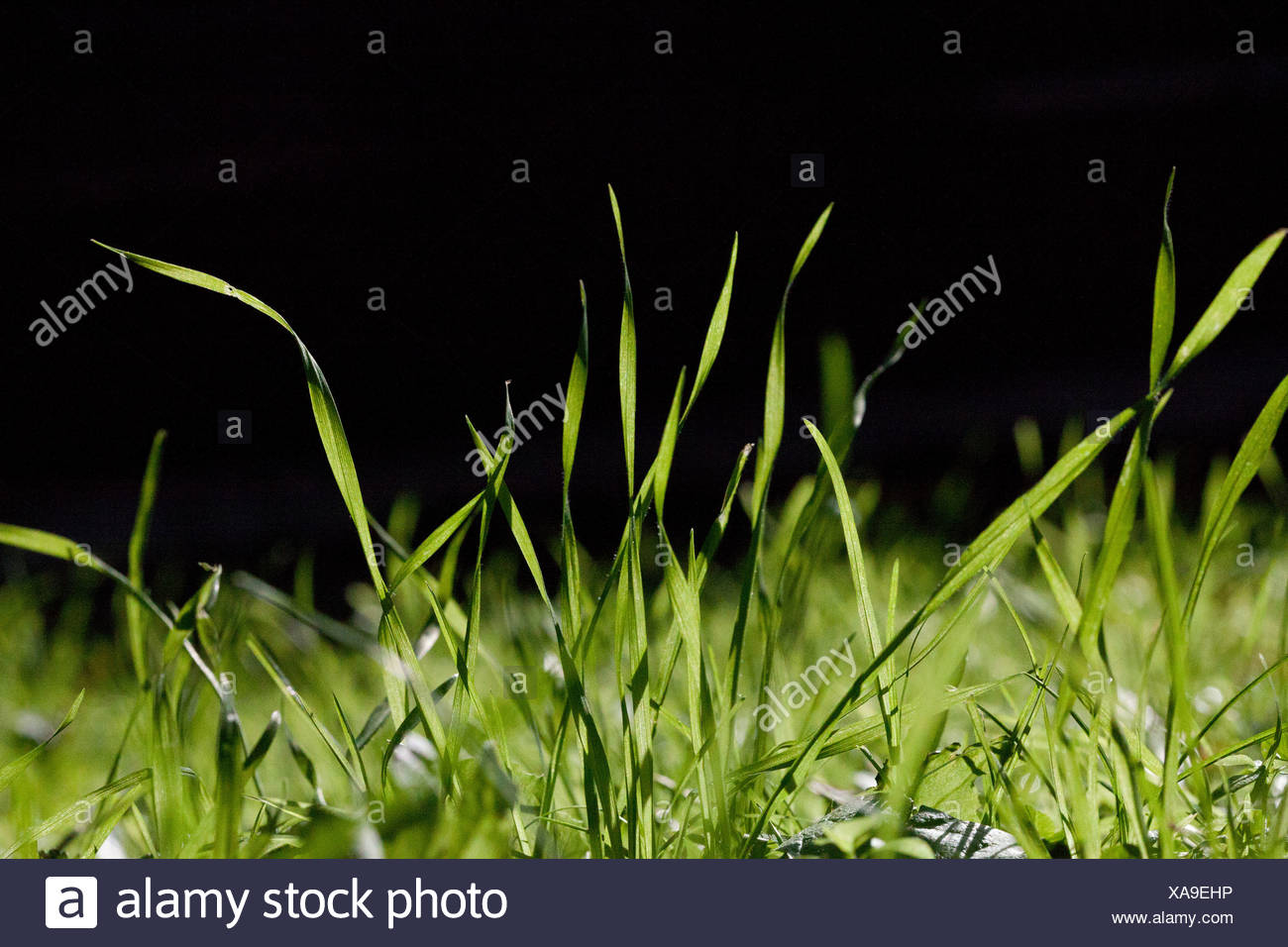 Blades of grass, close up - Stock Image