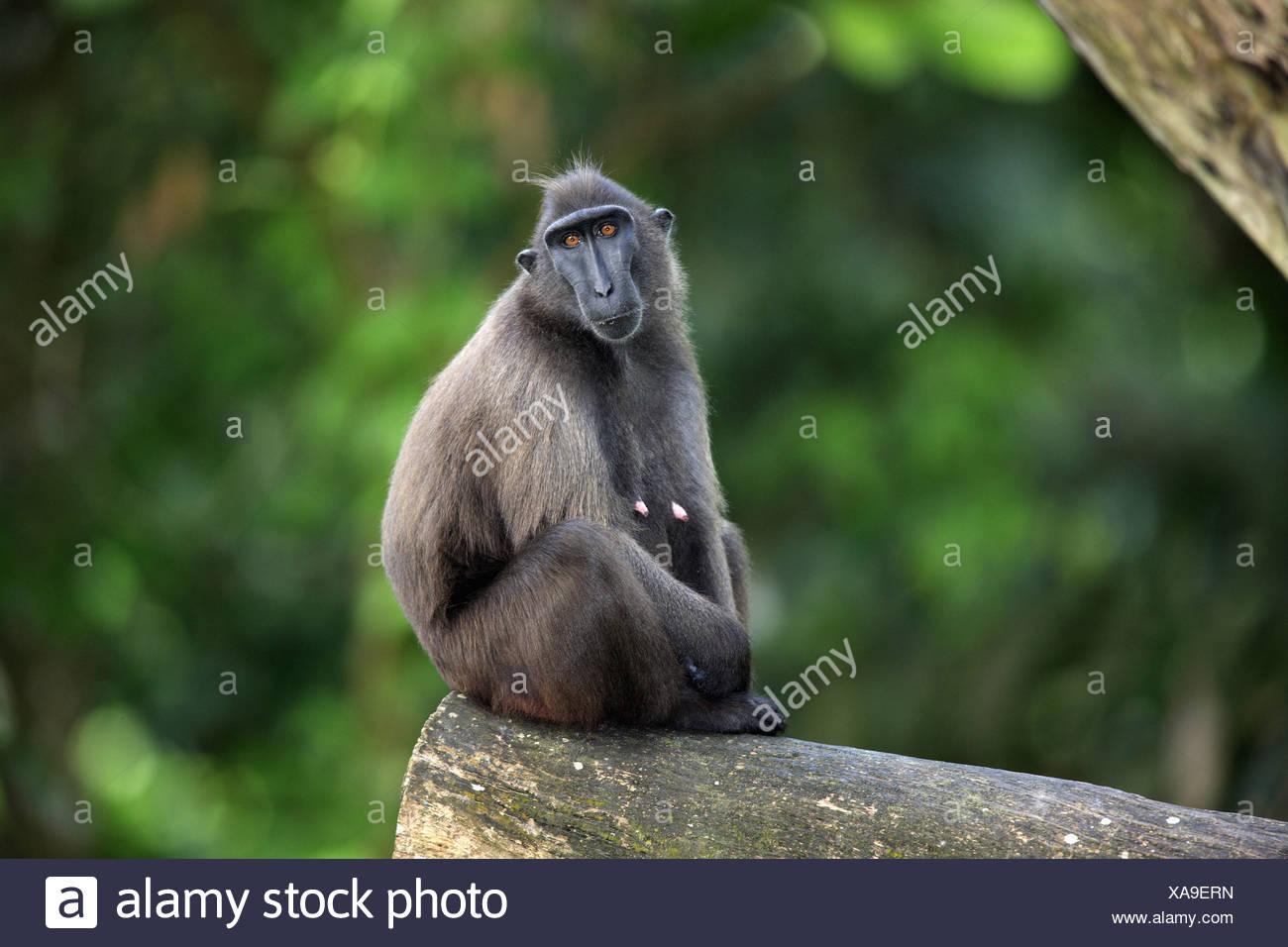 weiblich female black ape black stock photos weiblich female black