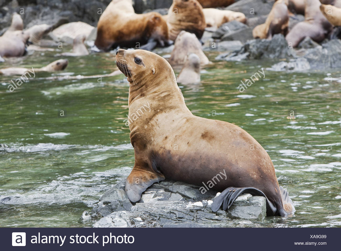 Steller Sea Lions resting in a rookery on Sail Island in Frederick Sound in the Inside Passage of Southeast Alaska, Summer - Stock Image