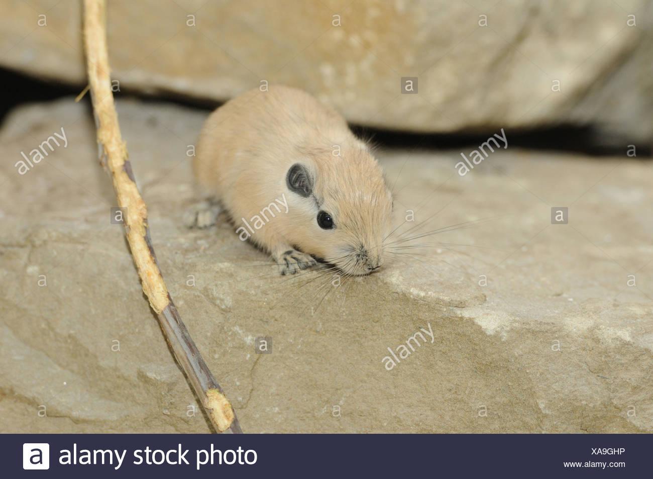 Common Gundi, Ctenodactylus gundi, young animal, rock, front view, sitting, looking at camera, - Stock Image
