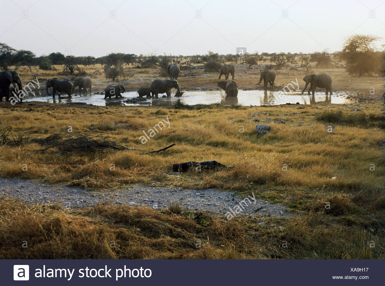 zoology / animals, mammal / mammalian, Elephantidae, African Bush Elephant (Loxodonta africana), herd with cubs at watering place, bathing, Etoscha National Park, Okaukuejo, Namibia, distribution: Africa, Additional-Rights-Clearance-Info-Not-Available - Stock Image