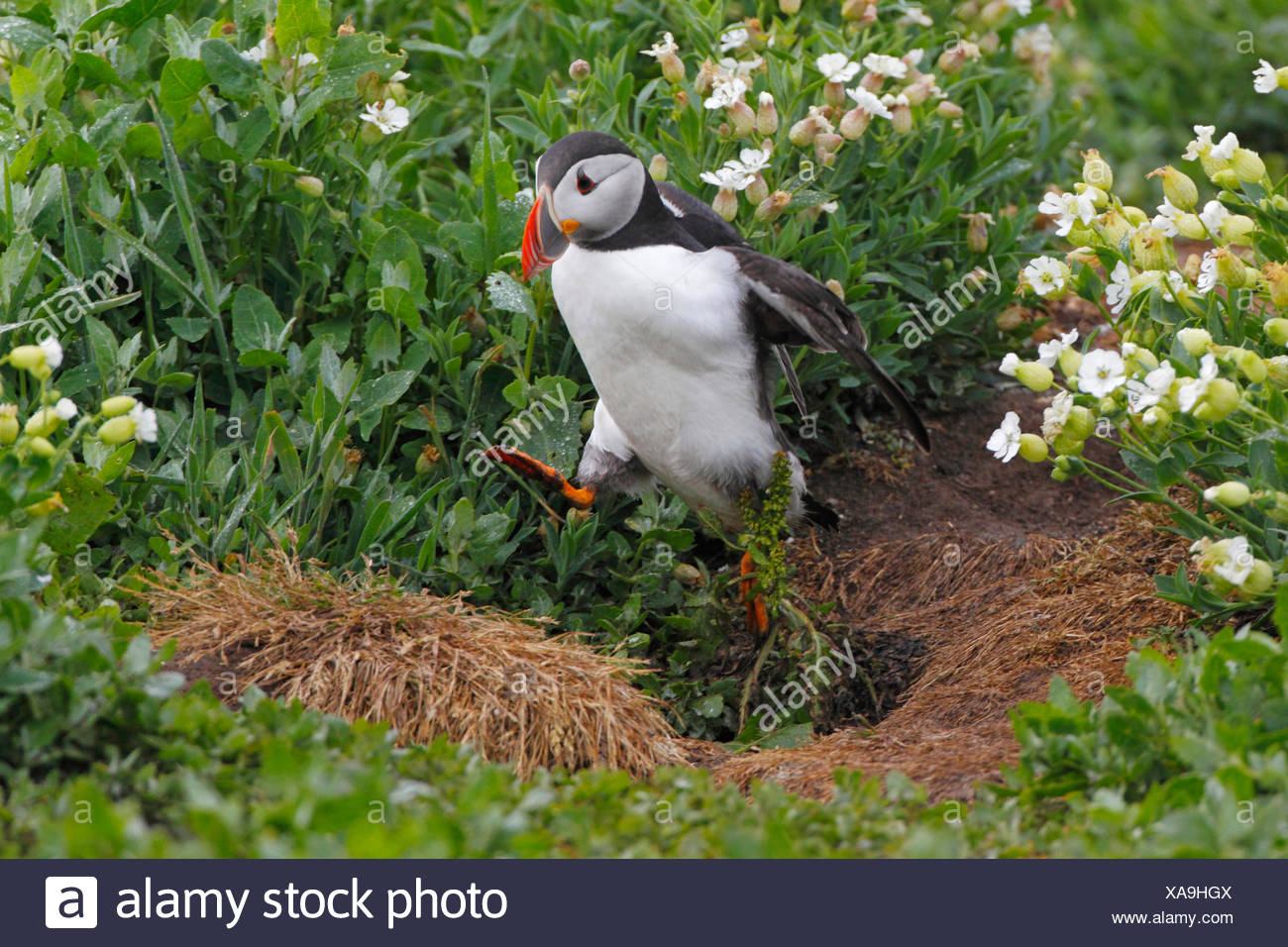 Atlantic puffin, Common puffin (Fratercula arctica), hopping over a hassock, United Kingdom, England, Farne Islands, Staple Island - Stock Image