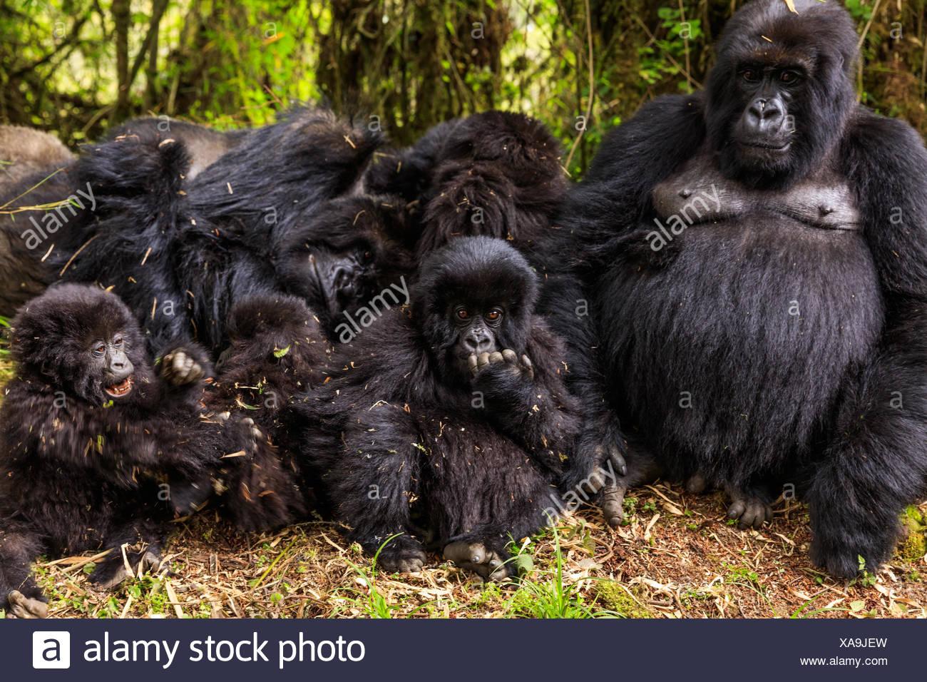 A family of mountain gorillas rests on the slopes of Mount Karisimbi. - Stock Image