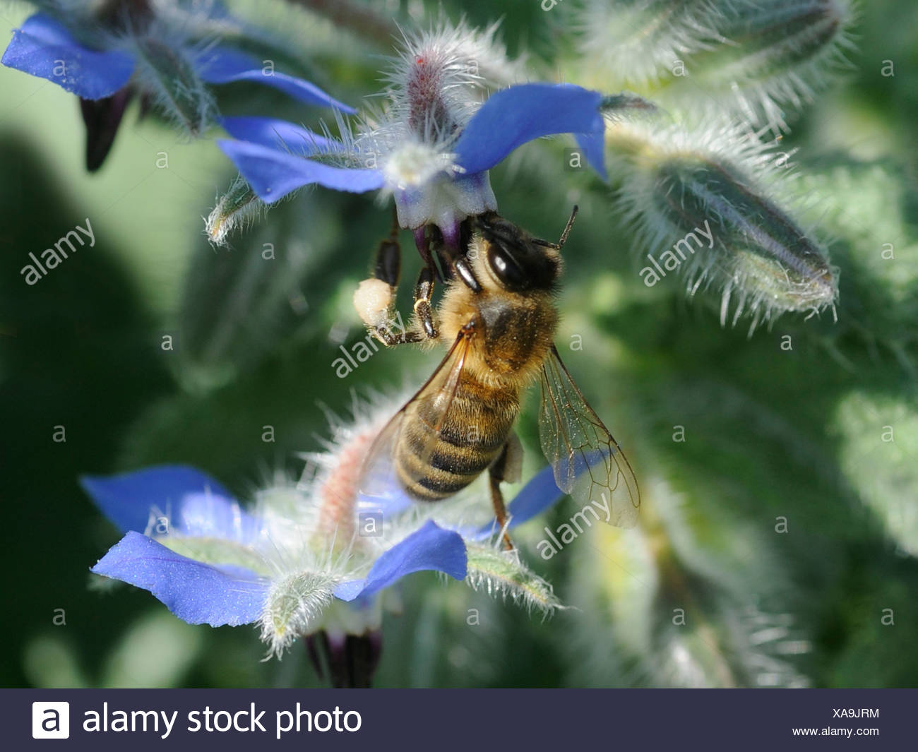 A wasp looking for nectar on a borage flower, on a borage plant Stock Photo