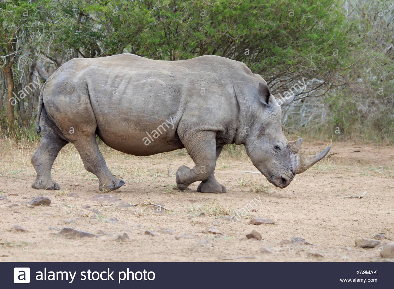 massive rhino at kruger - Stock Image