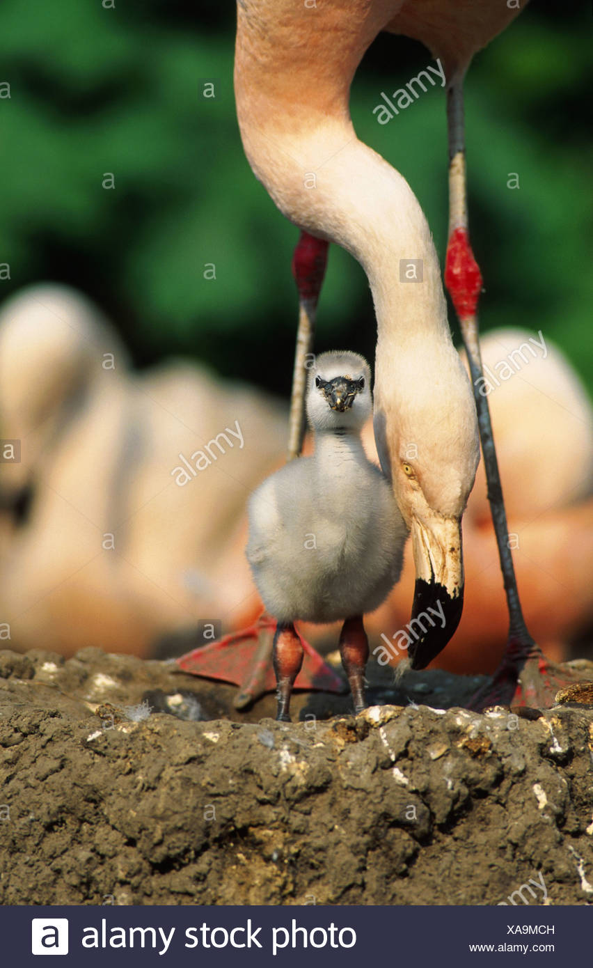 greater flamingo (Phoenicopterus ruber), with chick - Stock Image