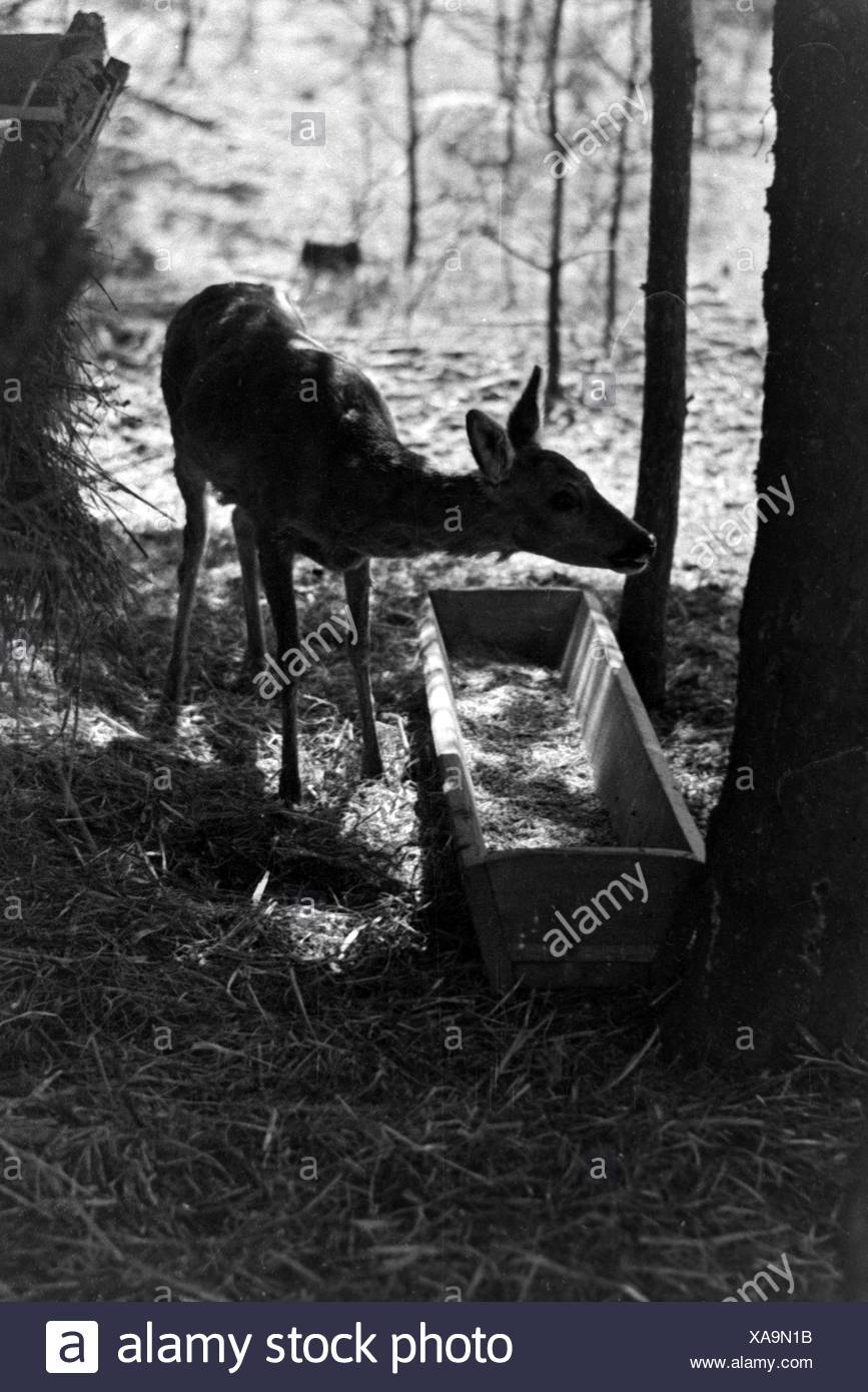 Reh an der Futterstelle im Wald, Deutschland 1930er Jahre. Deer at feeding ground, Germany 1930s Stock Photo