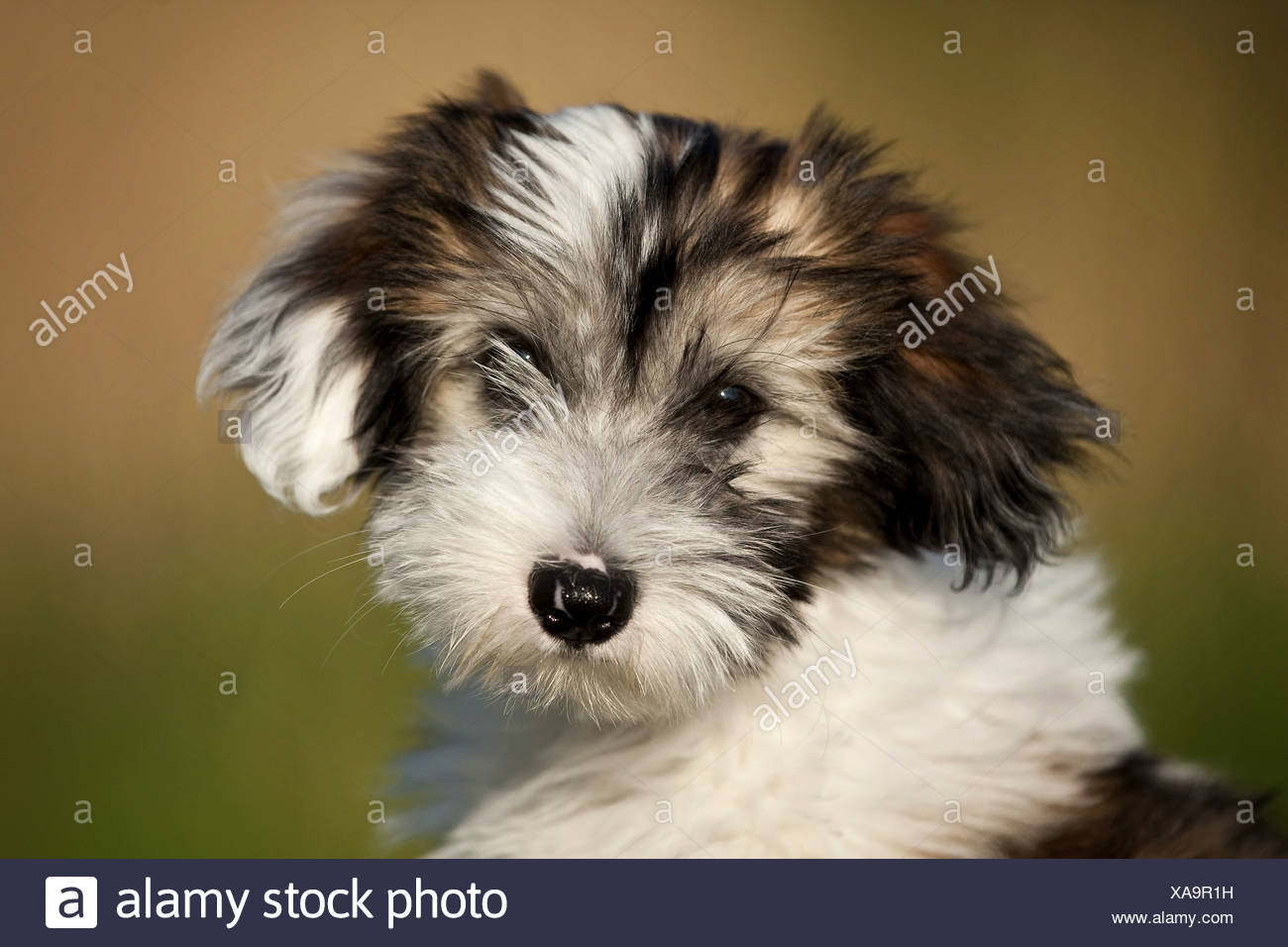 Tibetan Terrier (Canis lupus f. familiaris), portrait of a brown white spotted puppy , Germany - Stock Image