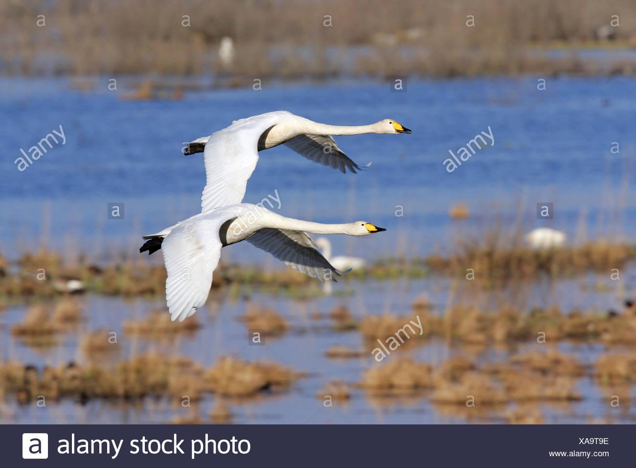 Couple of flying whooper swans - whooper swan (Cygnus cygnus) Stock Photo