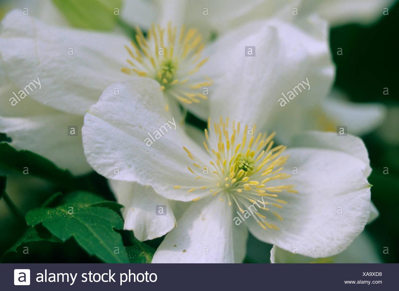 clematis, virgins-bower (Clematis 'Miss Christine', Clematis Miss Christine), cultivar Miss Christine - Stock Image