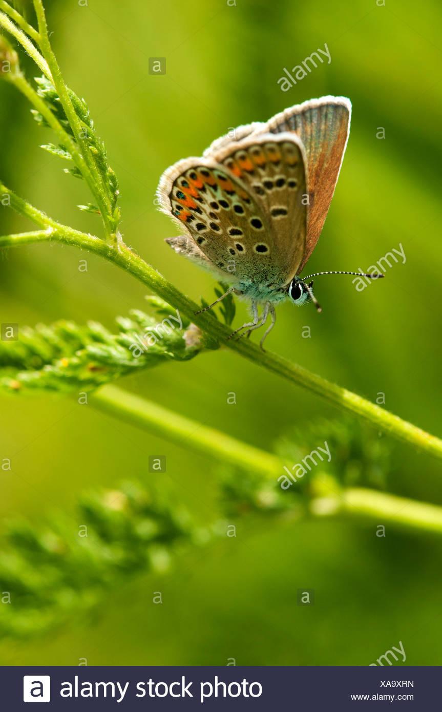 Common Blue butterfly (Polymattus icarus), Geneva, Genf, Switzerland - Stock Image