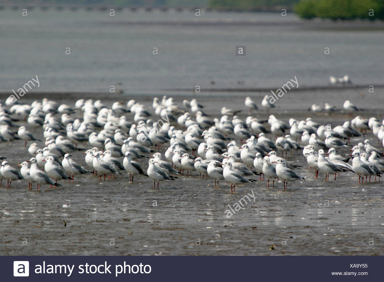 Sea gulls family Laridae - Stock Image