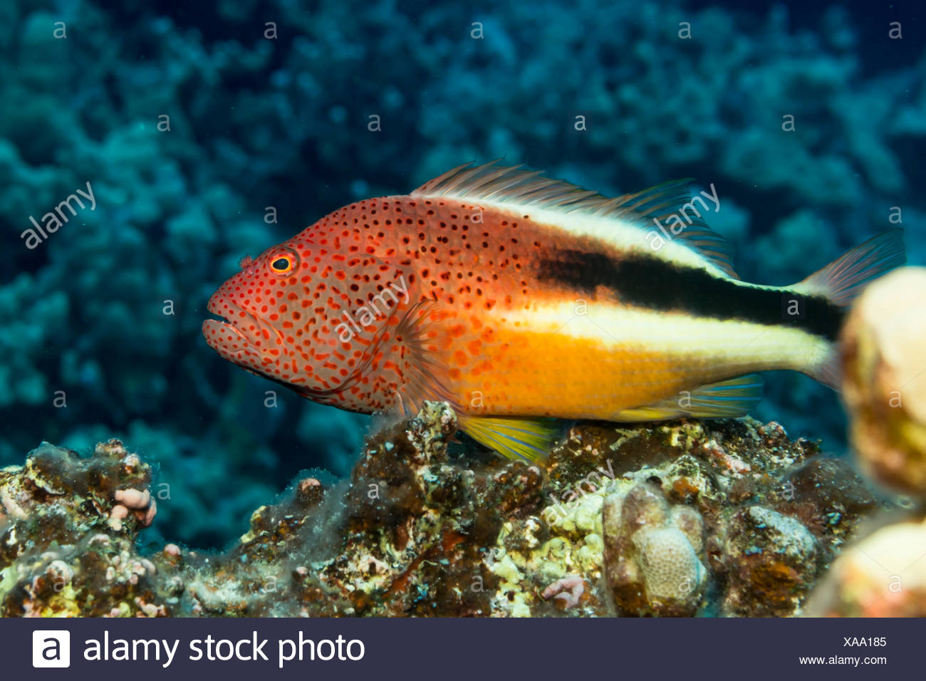 Freckled Hawkfish (Paracirrhites forsteri) resting on algae-covered dead coral was photographed while scuba diving the Kona coast - Stock Image