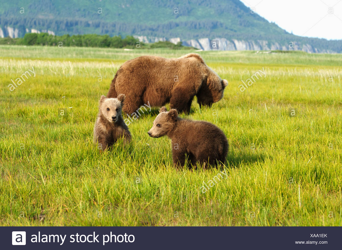 A Brown Grizzly Bear (Ursus Arctos Horribilis) With Cubs; Alaska, United States Of America - Stock Image