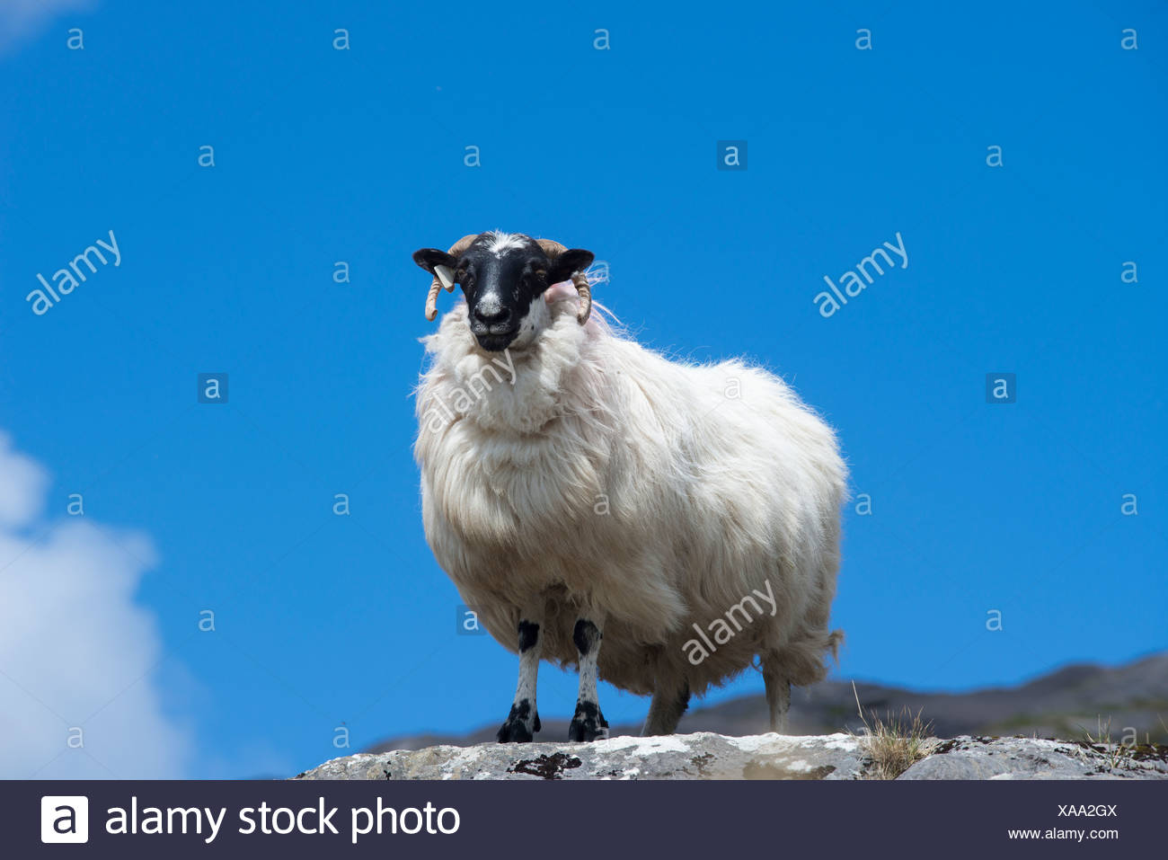 Sheep with a black head and horns, Ring of Beara, County Cork, Ireland, Europe - Stock Image