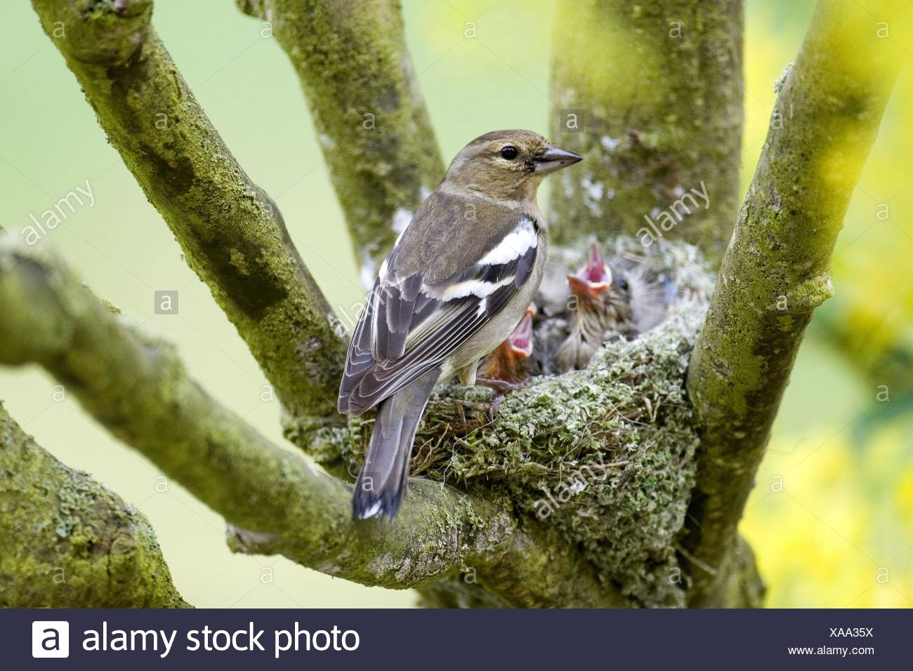 chaffinch nest - Stock Image
