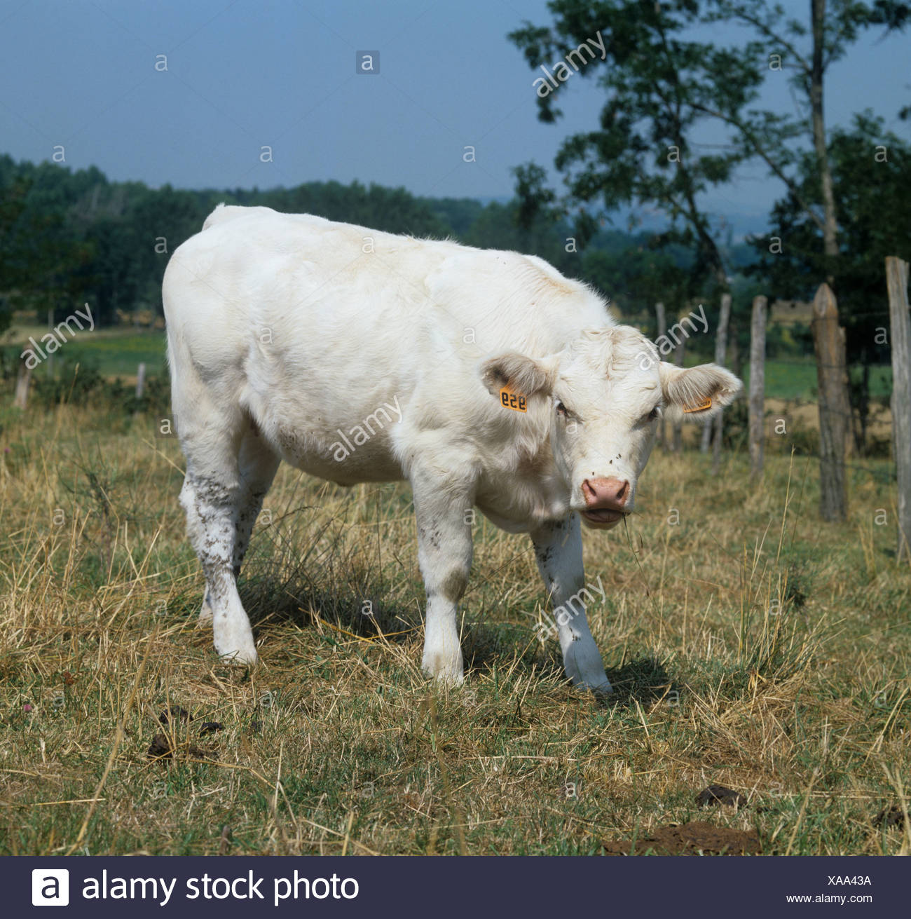 Charolais calf grazing dry summer grass in the Auvergne France - Stock Image
