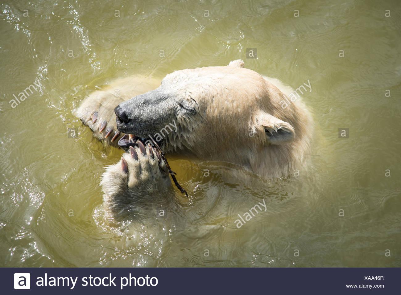 polar bear in water Stock Photo