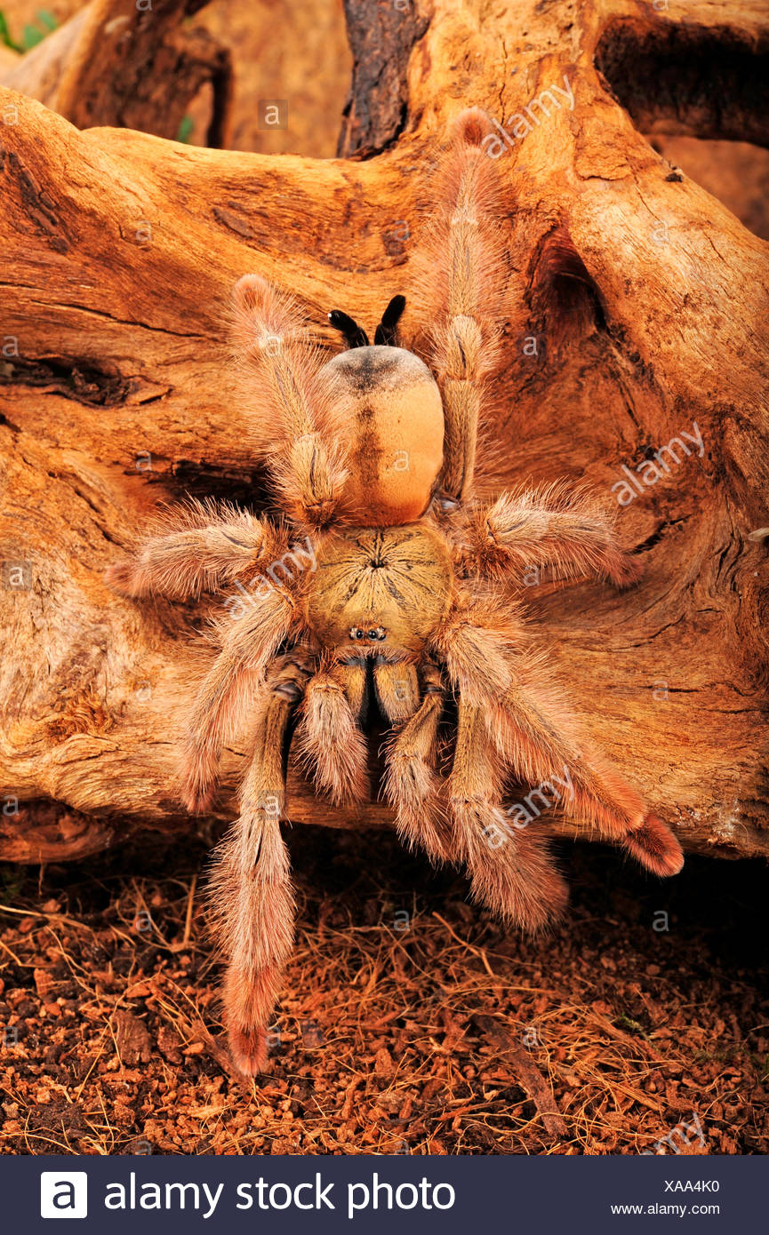 Panama Blonde Tarantula, Panama Blonde (Psalmopoeus pulcher), very hairy  bird spider from