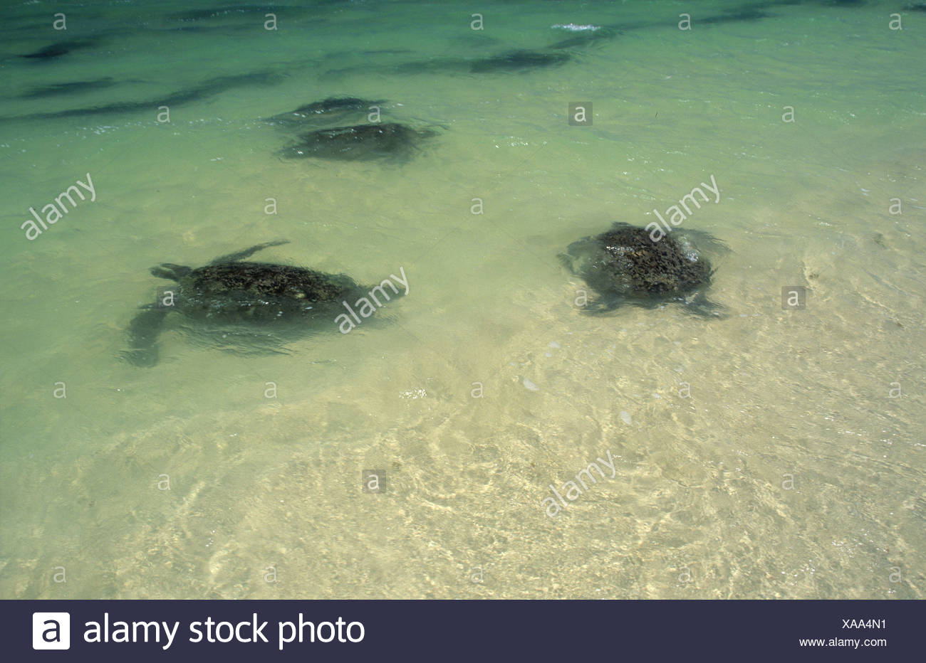 Green turtles swimming in shalow water near a beach at Cape Range National Park, Ningaloo Reef Marine Park - Stock Image