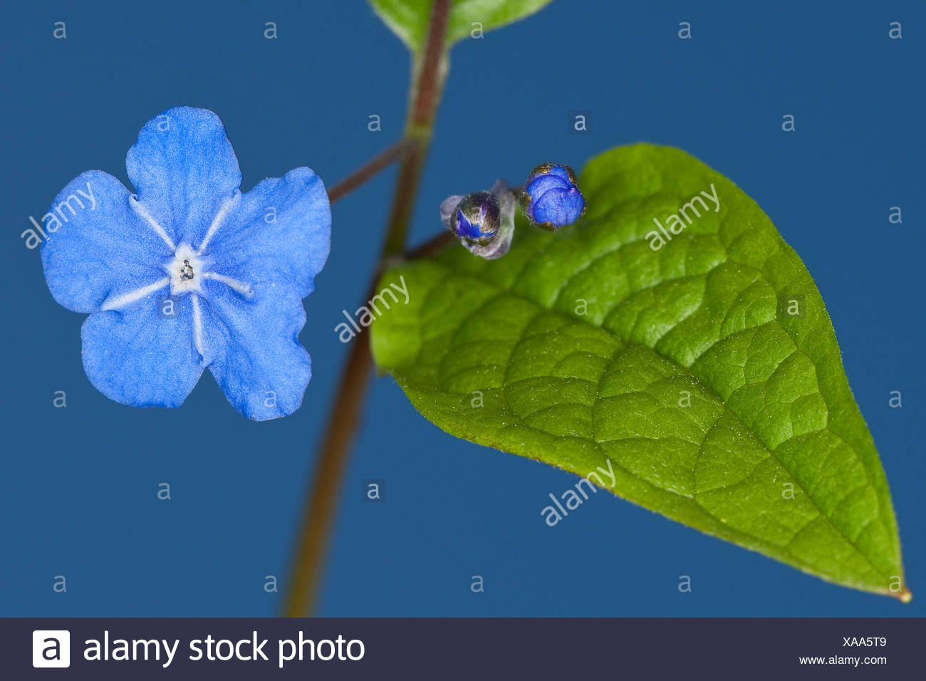 Navelwort, Blue-eyed Mary (Omphalodes verna), blooming Stock Photo