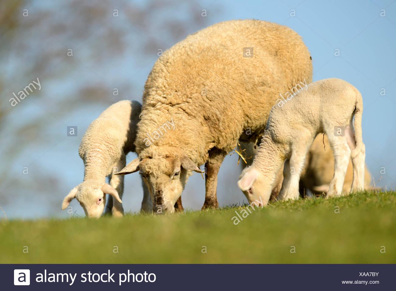 Merino Sheep, ewe with lambs - Stock Image