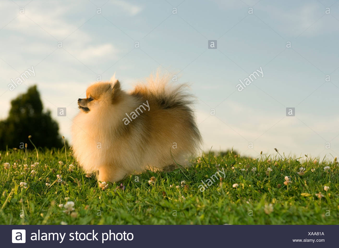 tiny dog standing on meadow - Stock Image