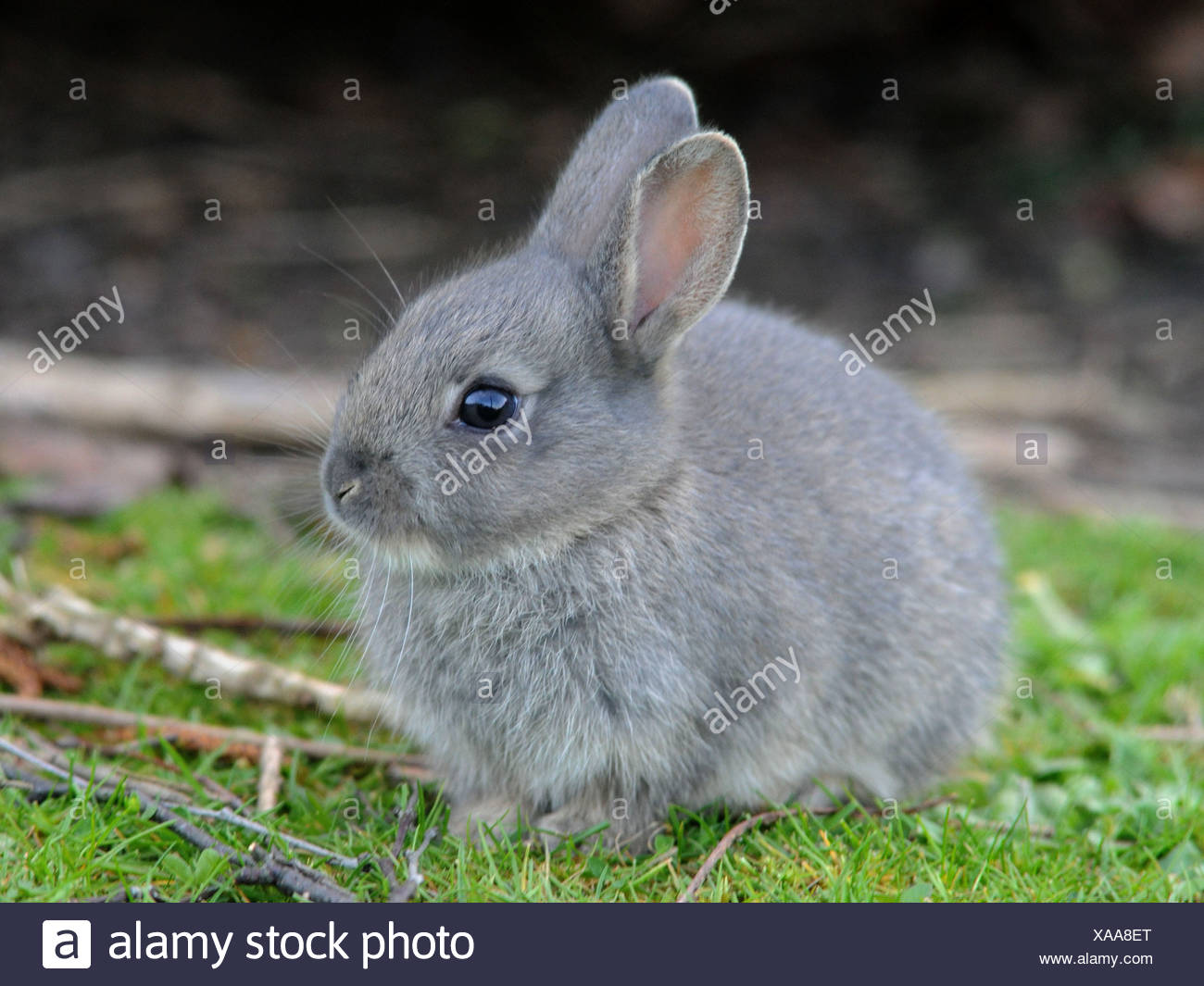 Image of: Newborn Small Wild Grey Baby Rabbit Stock Image Alamy Baby Wild Rabbit Stock Photos Baby Wild Rabbit Stock Images Alamy