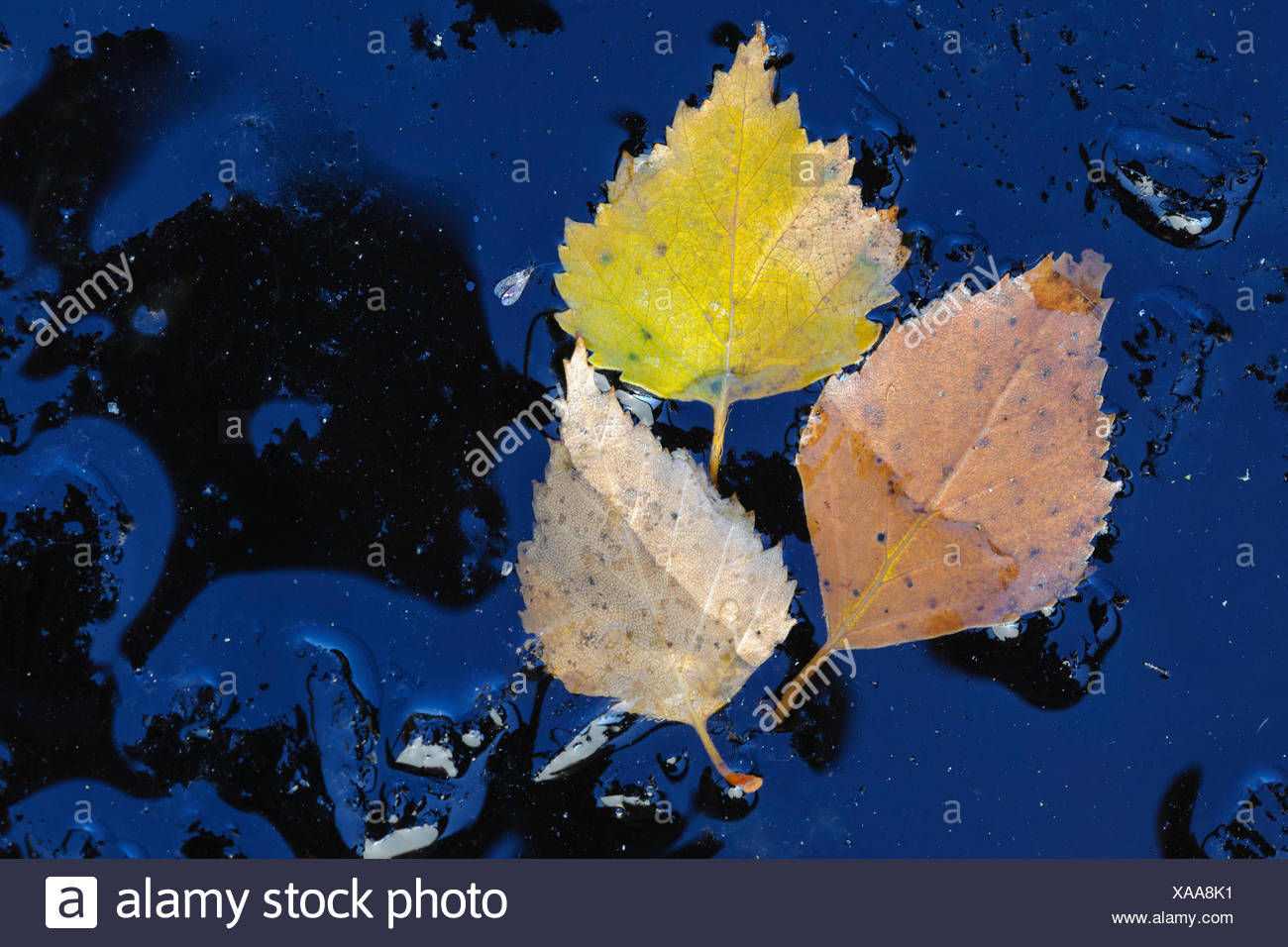 birch leaves in hoarfrost - Stock Image