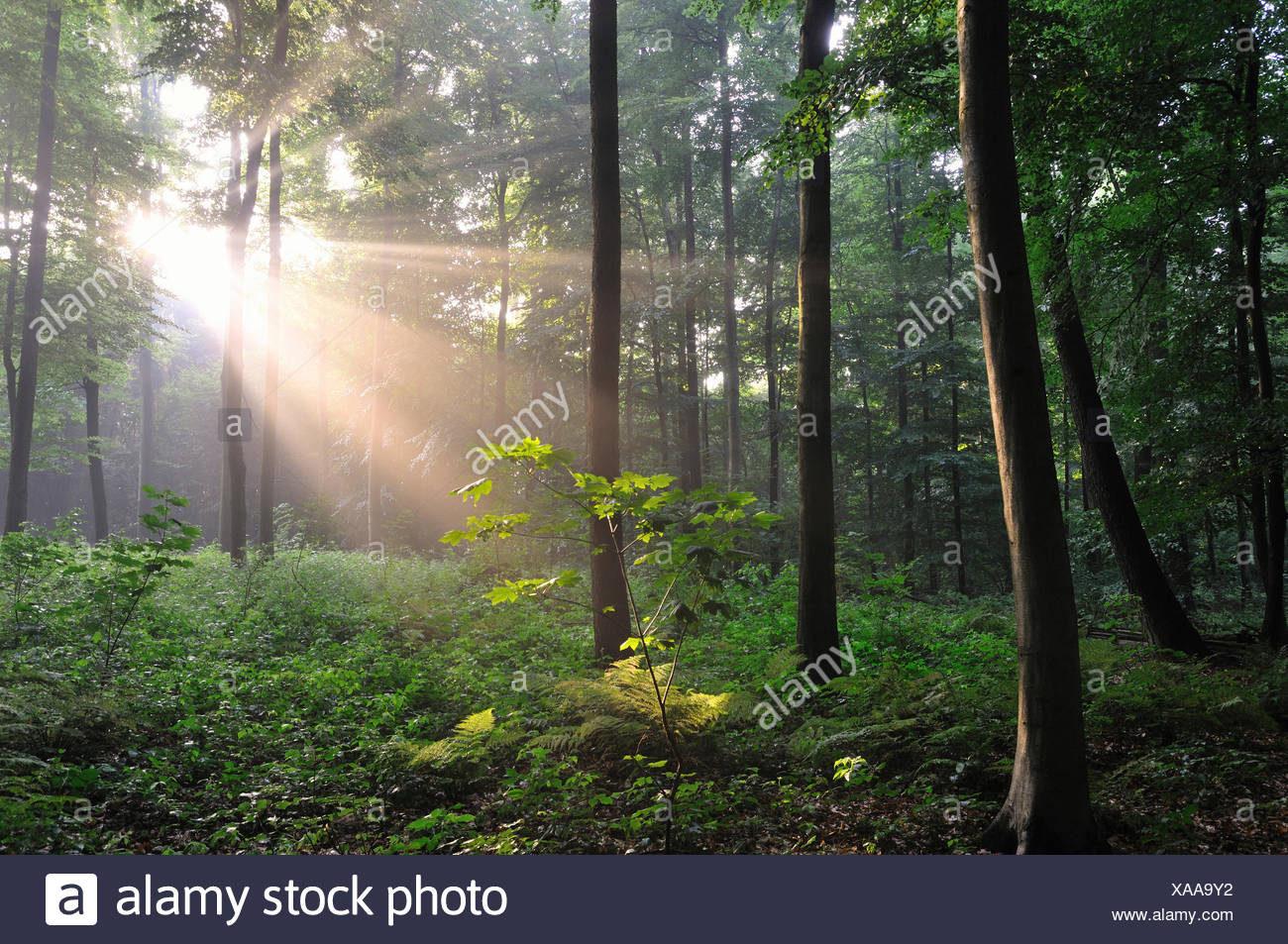 Sunrays bursting through the fog in a deciduous forest, North Rhine-Westphalia, Germany - Stock Image