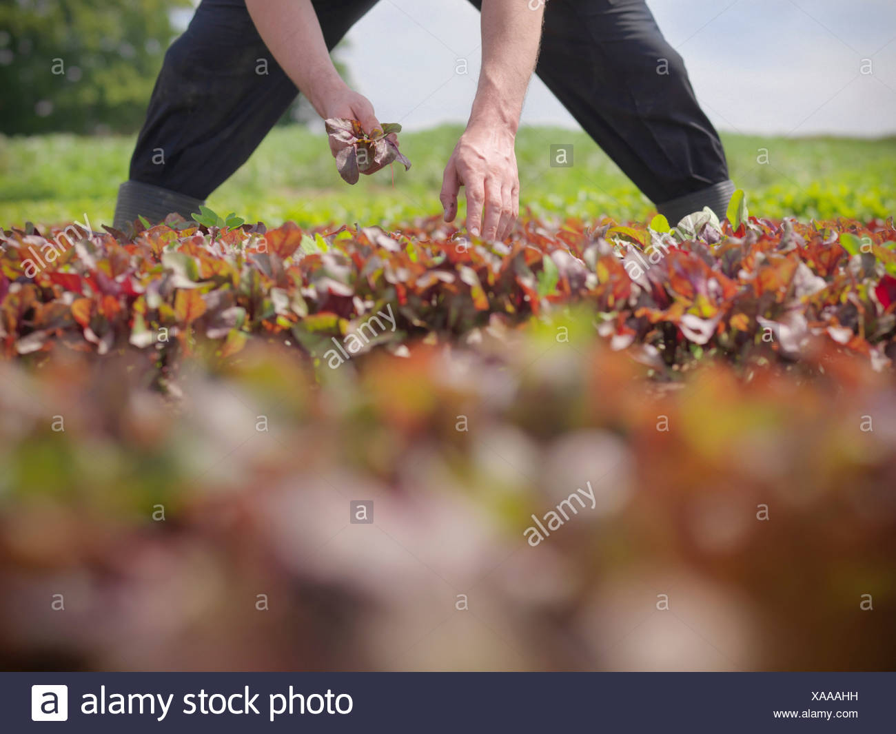 Man Picking Lettuce Stock Photos & Man Picking Lettuce Stock Images ...