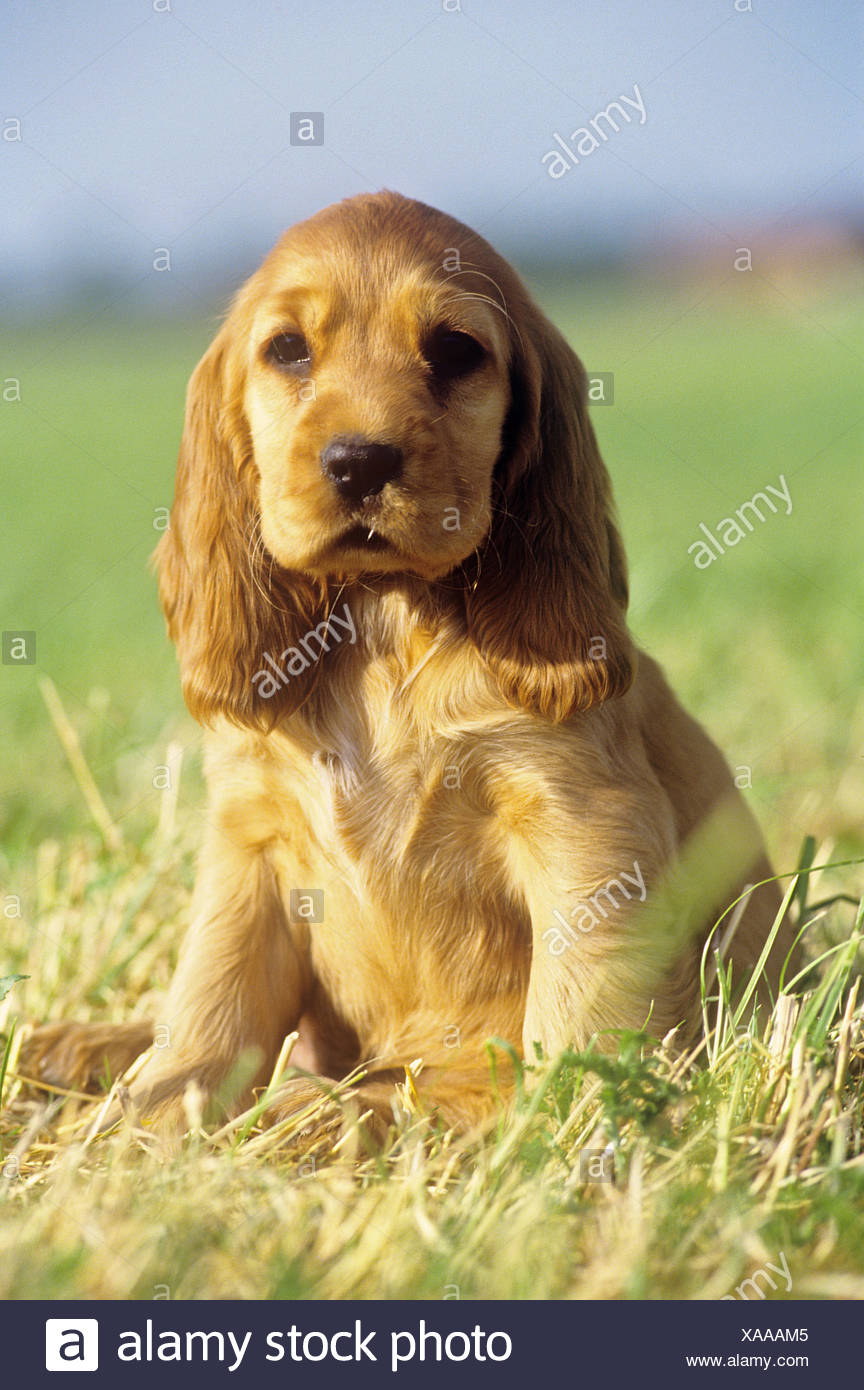 cocker spaniel whelp - sitting on meadow - Stock Image