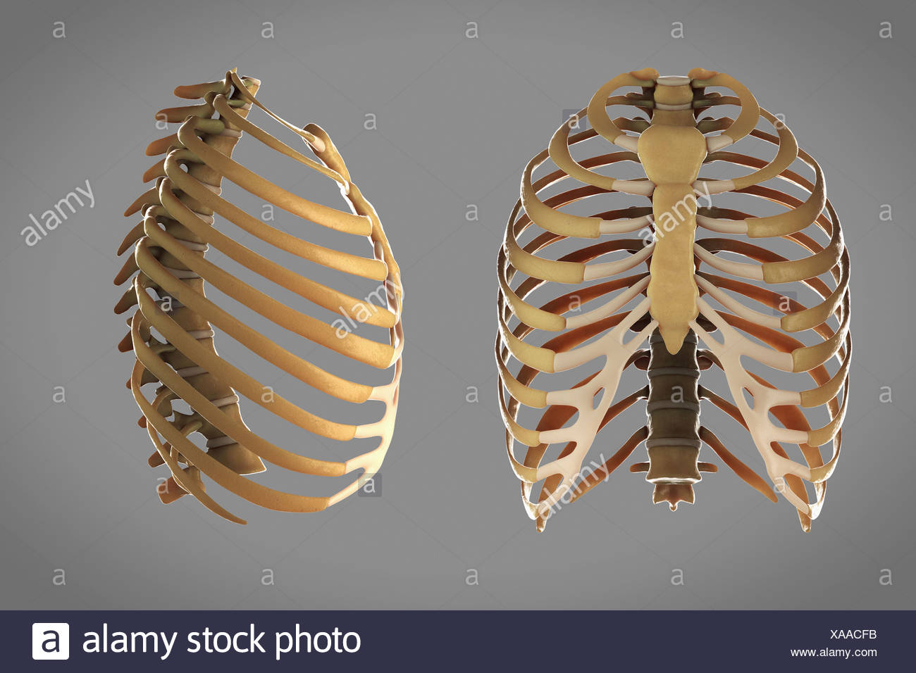 Front And Side View Of The Skeletal Structures Of The Thoracic Cage