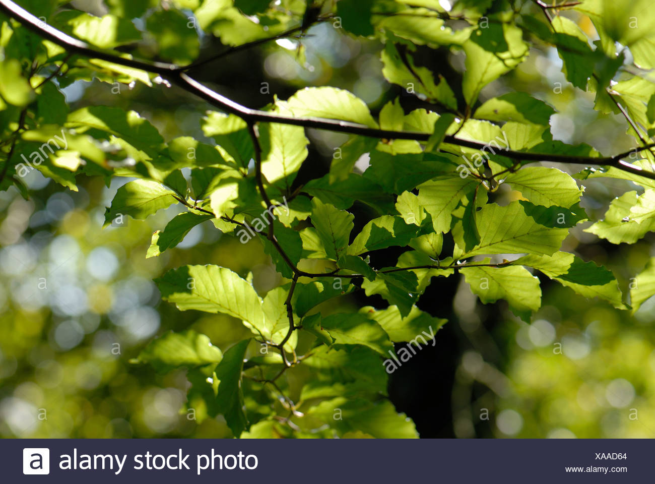 Light shining through beech Fagus sylvatica leaves in summer - Stock Image