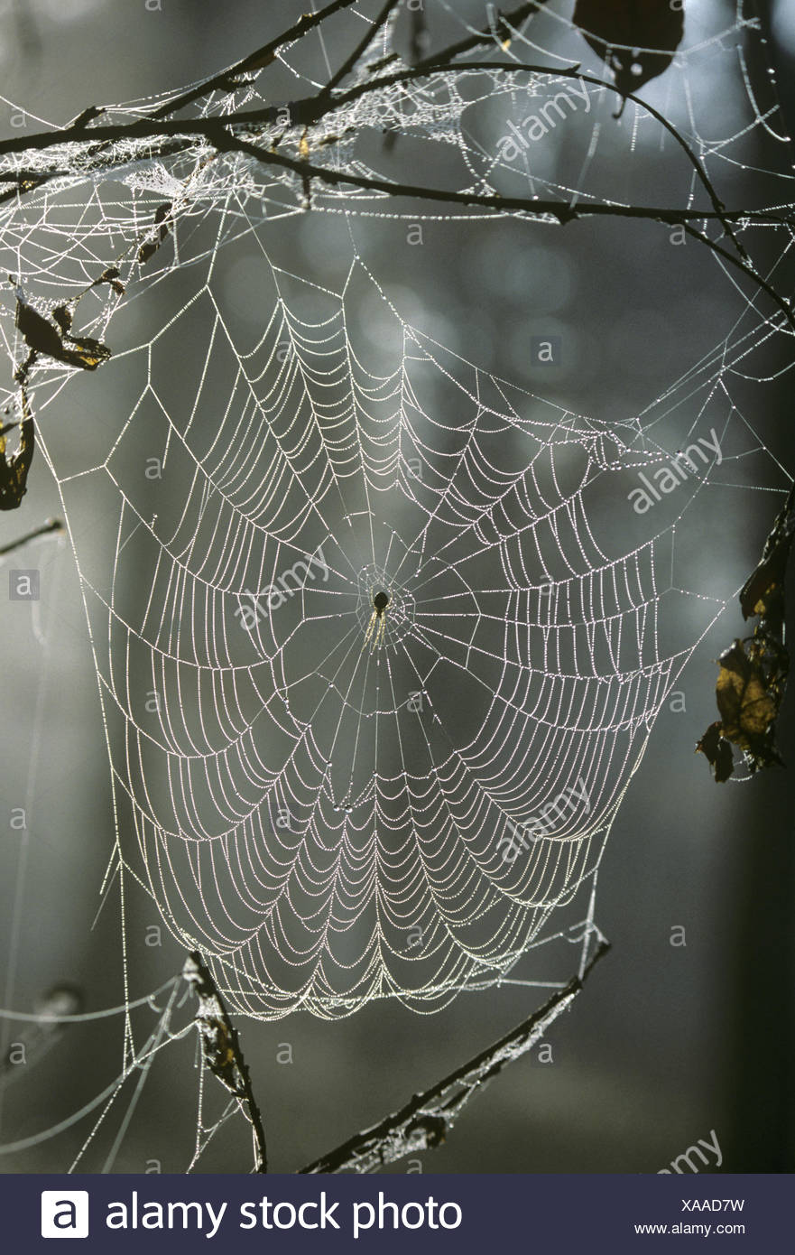 Orb Spider's web - Stock Image