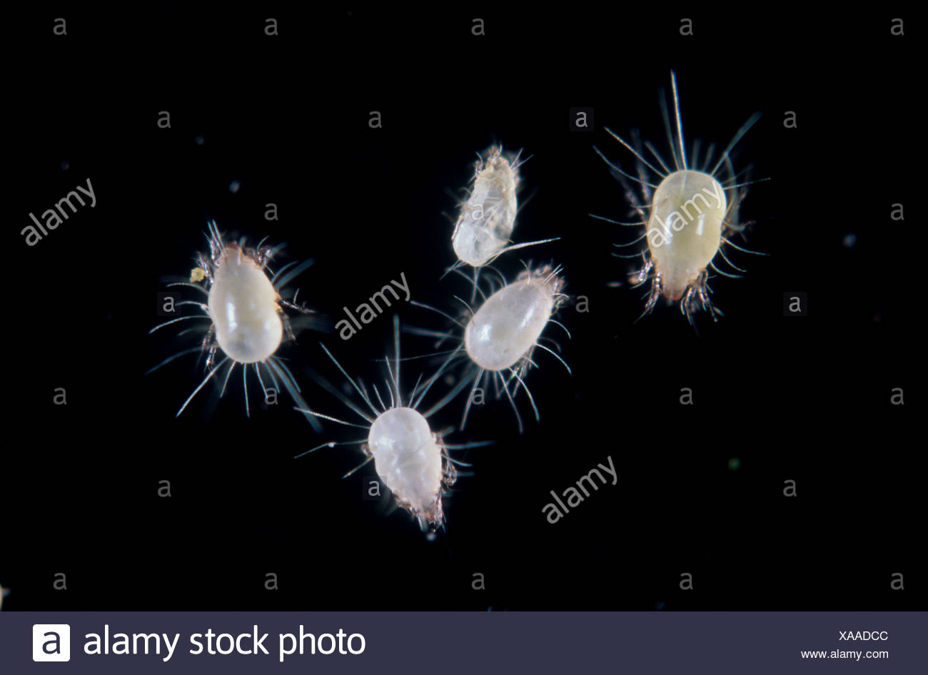House dust mite Glycyphagus domesticus mites Stock Photo